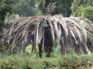 Palmiers Vence 022