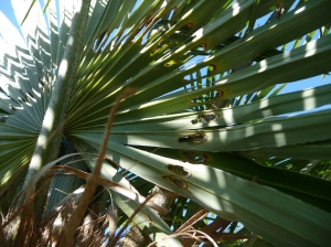 Attaque de papillon sur un Trachycarpus fortunei