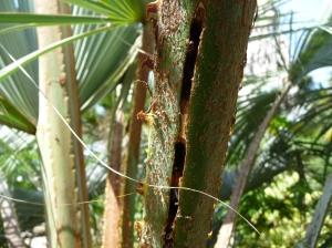 Galeries de larves sur le pétiole d'une palme