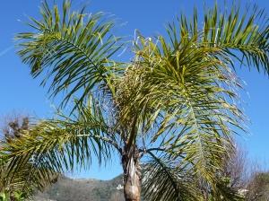 Palmiers Vence 009