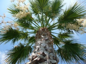 Washingtonia filifera en floraison