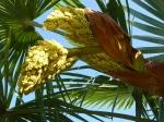 Trachycarpus fortunei inflorescences