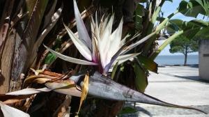 Fleur Strelitzia nicolai