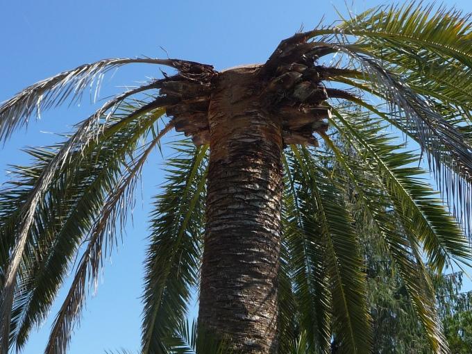 2016 palmier Matisse